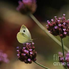 Anna Lisa Yoder - Cabbage White on Purpletop Vervain