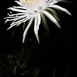Mario Morales Rubi - Acanthocereus Bloom