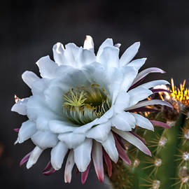 Robert Bales - Cactus Beauty