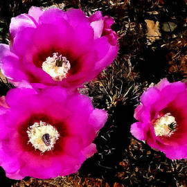 Bob Johnston - Cactus Blossoms in Southwest National Parks