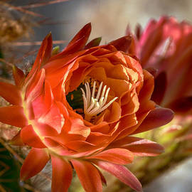 Robert Bales - Cactus Bud