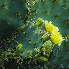 Jean Noren - Cactus flower