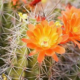 Norng Ti  - Cactus Orange