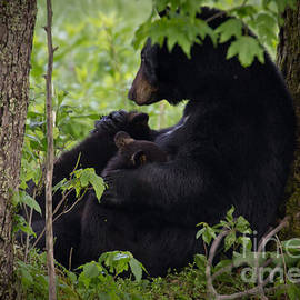 Douglas Stucky - Cades Cove Bear III
