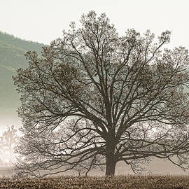 Phyllis Peterson - Cades Cove Tree