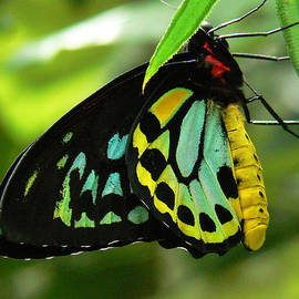 Margaret Saheed - Cairns Birdwing Butterfly 2