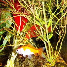 Calico Comet Goldfish