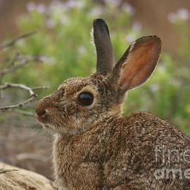 John F Tsumas - California Bunny