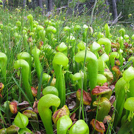 Dianne Phelps - California Pitcher Plant