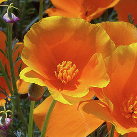 Ben and Raisa Gertsberg - California Poppies