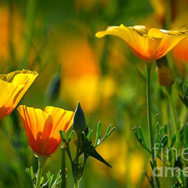 Deb Halloran - California Poppies