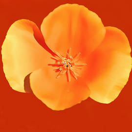 Bob and Nadine Johnston - California Poppy Painting