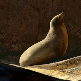 Nikolyn McDonald - California Sea Lion -Basking
