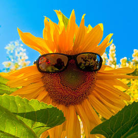 Bill Gallagher - California Sunflower