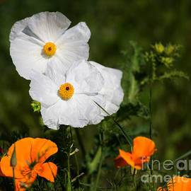 Louise Heusinkveld - California tree poppies with golden poppies in a meadow