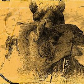 Sue Jacobi - Camel Love Desert India Rajasthan