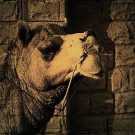 Sue Jacobi - Camel Portrait Desert India Jaisalmer