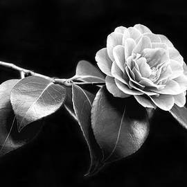 Jennie Marie Schell - Camellia Flower in Black and White