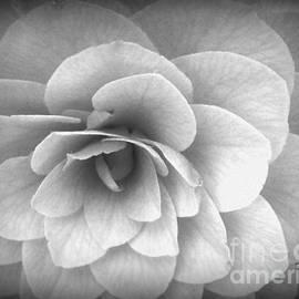 Geri Glavis - Camellia Study