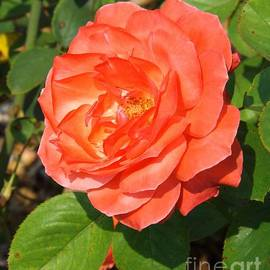 Sara  Raber - Camelot Rose