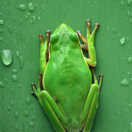 Kathy Baccari - Camophlage Tree Frog