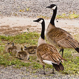 Bob and Nadine Johnston - Canada Geese and Goslings