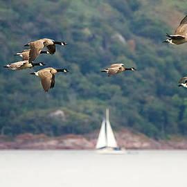 Mr Bennett Kent - Canada Geese in flight Mull Scotland