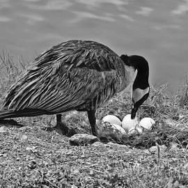Bob and Nadine Johnston - Canada Geese Nesting