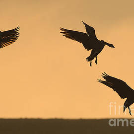 Ray G Foster - Canada Geese Silhouette 4
