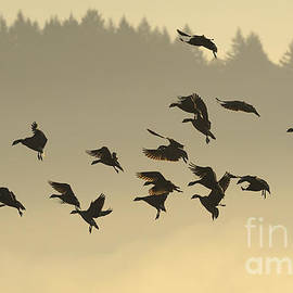 Ray G Foster - Canada Geese Silhouette 5