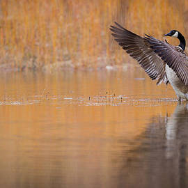 Chris Hurst - Canada Goose Stretches its Wings