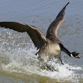 Bob Christopher - Canada Goose Touchdown