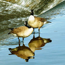 Pamela Patch - Canadian Geese Reflecting