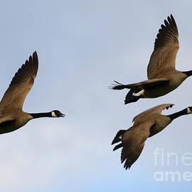 Mike Dawson - Canadian Geese Trio