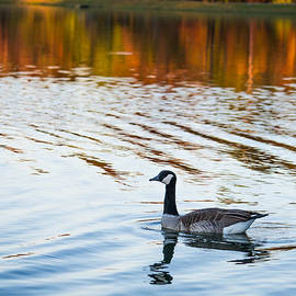 Shelby  Young - Canadian Goose Floating Across the Lake