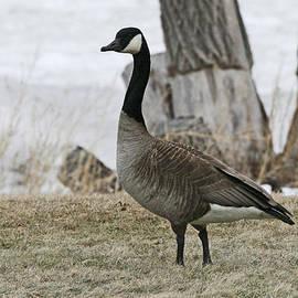 Michael Allen - Canadian Goose