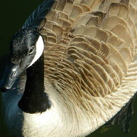 Emmy Marie Vickers - Canadian Goose Portrait
