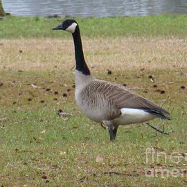 Joseph Baril - Canadian Goose Strut