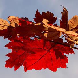 Georgia Mizuleva - Canadian Maple Leaves in the Fall