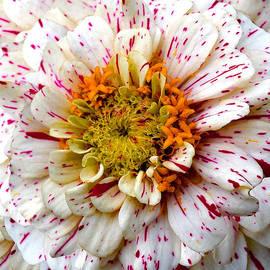 Michele  Avanti - Candy Stripe Magenta Mum Chrysanthemum