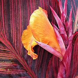 MTBobbins Photography - Canna Lily Stripes