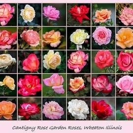 Rosanne Jordan - Cantigny Rose Garden Roses