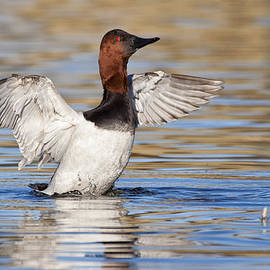 Ruth Jolly - Canvasback Flap