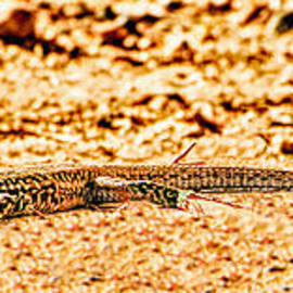 Bob and Nadine Johnston - Canyon Spotted Whiptail Lizard