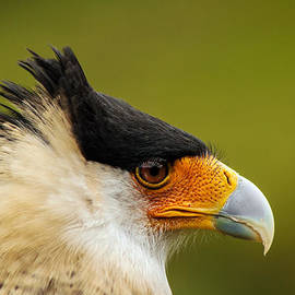 Jess Kraft - Caracara Bird Face