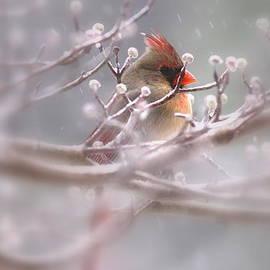 Travis Truelove - Cardinal - Bird - Lady in the Rain
