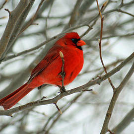 Carolyn Pettijohn - Cardinal Comes to Town