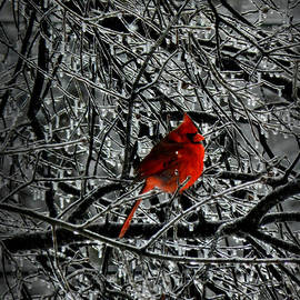 Lance Vaughn - Cardinal in an Ice Storm 001