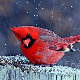 Rodney Campbell - Cardinal in the Snow