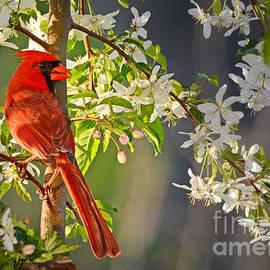 Nava Thompson - Cardinal in the Springtime